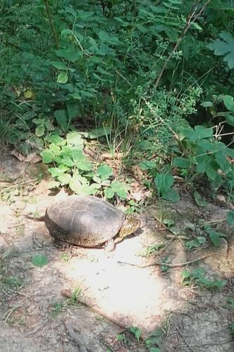 A Pilisi Parkerdőben megtelepedett a mocsári teknős